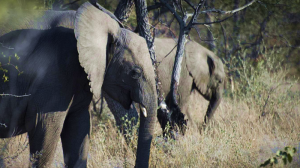 Big game hunter trampled to death by elephant in Namibia (independent.co.uk)