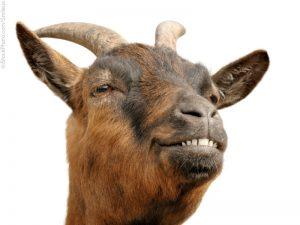 Sex-Crazed Goats Face Mass Castration After Causing Mayhem in Irish Town (newsweek.com)