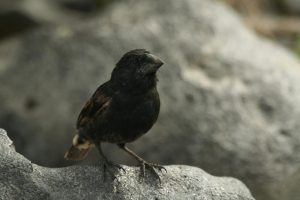 Galapagos finch flies to distant island, mates with birds there, creates new species (newsweek.com)