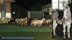 Police Capture Donkey That Led Goats and Sheep Through a Residential Neighborhood (newsweek.com)