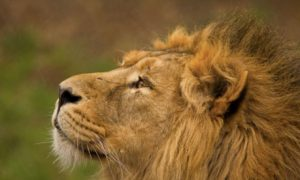 Nomz! Suspected poacher eaten by lions in South Africa