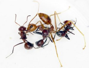 OMG! Exploding ants? YES! Newly discovered species bursts into goo to destroy its enemies!