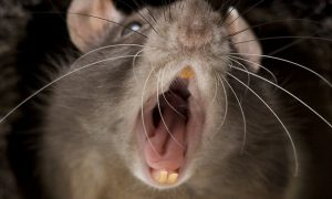 Swedish town plagued by giant mutant rats! (newsweek.com)