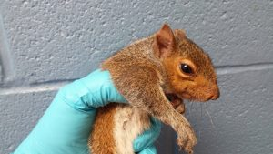 5 Little Squirrel Siblings Rescued After Getting Their Tails Tangled in a Bunch (insideedition.com)