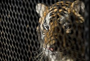 Abandoned tiger can stay at Houston shelter: judge (nydailynews.com)